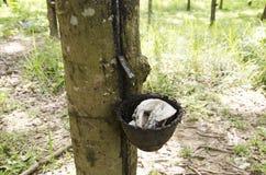 Tazza di plastica per il lattice di gomma del battitore dalla pianta garde di seringueira Fotografia Stock Libera da Diritti