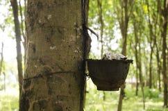Tazza di plastica per il lattice di gomma del battitore dalla pianta garde di seringueira Immagini Stock