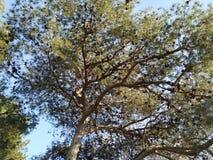 Tazza di un pino con il sole di pomeriggio che riflette fra i suoi rami fotografia stock libera da diritti