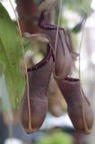 Tazze della scimmia Immagine Stock