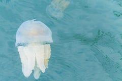 Tazze variopinte delle meduse Immagine Stock