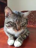 TazzMania η γάτα Στοκ Εικόνα