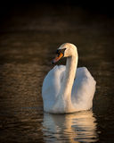 Tchaikovsky's Swan Royalty Free Stock Photography