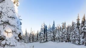 Täckt snö sörjer träd under blåa himlar Arkivbild