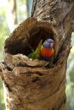 Tęczy Lorikeet papuga Fotografia Royalty Free