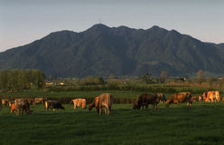 Te Aroha Jersey herd. A herd of Jersey cows graze in the afternoon sunlight with Mount Te Aroha in the background. Waikato NZ Stock Image