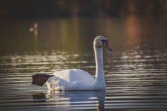 Te de Olor salutant/cisne del saludo fotos de archivo