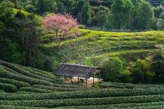 Te för backe Ang-khang i Thailand Fotografering för Bildbyråer