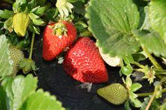 Te kweken aardbeien Royalty-vrije Stock Fotografie