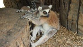 Te pocieszni lemury Zdjęcia Stock