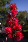 Czerwoni spikey kwiaty Zdjęcie Royalty Free