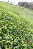 Te som växer på backen Arkivbilder