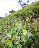 Te som växer på lutningar i kenyanska högländer Royaltyfria Foton