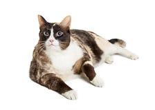 Te zware Cat Lying Down op Wit Stock Foto's