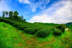 101Tea φυτεία σε Chiang Rai Στοκ Φωτογραφίες