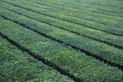 Tea. Green tea field, S. Miguel Island, Açores Royalty Free Stock Photo