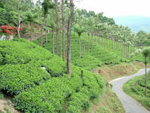 Tea. Garden, Munnar, Kerala, India Royalty Free Stock Images