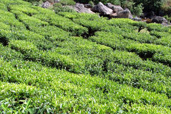 Tea. Gardens, Munnar, Resort, Kerala, India Stock Images