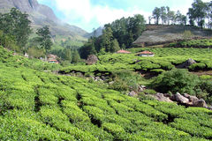 Tea. Garden, Munnar, Resort, Village, Kerala, India Stock Photo