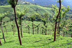 Tea. Garden, Munnar, Kerala, India Royalty Free Stock Photography