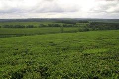 Tea. Plantation Royalty Free Stock Photos