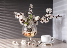 Tea and apricot flowers Royalty Free Stock Photo