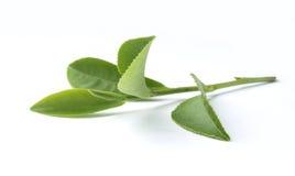 Tea branch Stock Photography