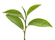 Tea branch Stock Images