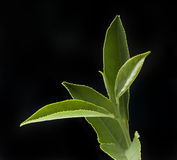 Tea branch Royalty Free Stock Image