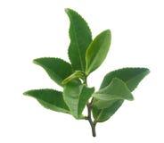 Tea branch Stock Photo