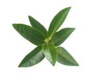 Tea branch Royalty Free Stock Image