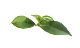 Tea branch Royalty Free Stock Photography