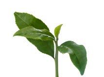 Tea branch Stock Image
