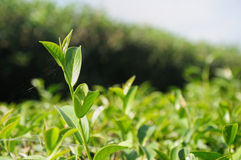 Tea bud and fresh leaves in a tea plantations Royalty Free Stock Photography