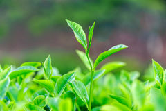 Tea bud and leaves on background Stock Photos