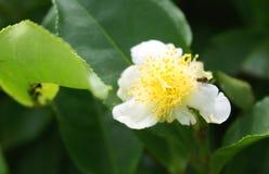 Tea bud and leaves Stock Photo
