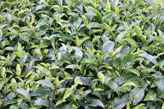 Tea bush Stock Photo