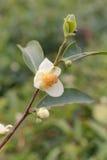 Tea bush branch closeup Royalty Free Stock Images