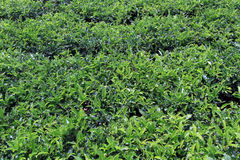 Tea bush Stock Image