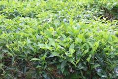 Tea bush Royalty Free Stock Photography