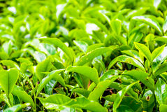 Tea bush leafs close up Royalty Free Stock Photos
