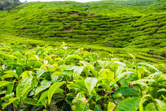 Tea bush leafs close up Stock Images