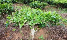 Tea bush on tea farm Royalty Free Stock Image