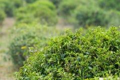 Tea bush in Thailand Stock Image