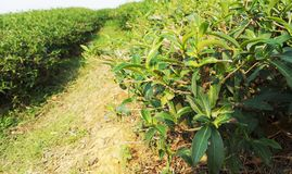 Tea bushes. In a field Royalty Free Stock Image