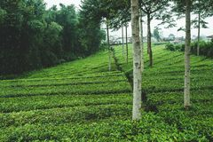 Tea bushes in the mountains of Asia royalty free stock photos