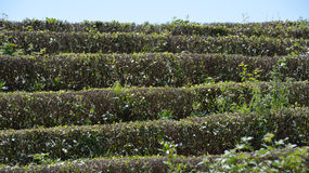 Tea on the bushes. Tea rows on the terrace Stock Images