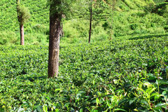Tea bushes on the slope Royalty Free Stock Photo