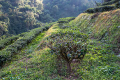 Tea bushes on sunrise. Tea plantation in northern Thailand Royalty Free Stock Images