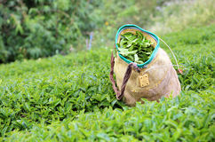 Tea bushes and a traditional basket Royalty Free Stock Photos